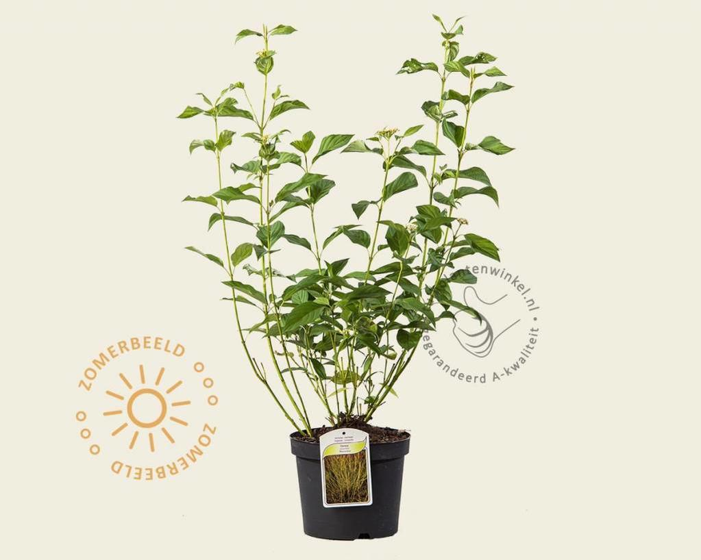 Cornus sericea (stolonifera) 'Flaviramea'