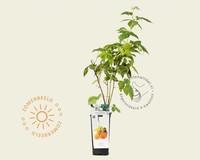 Rubus idaeus 'Golden Everest'