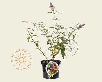 Buddleja weyeriana 'Flower Power'