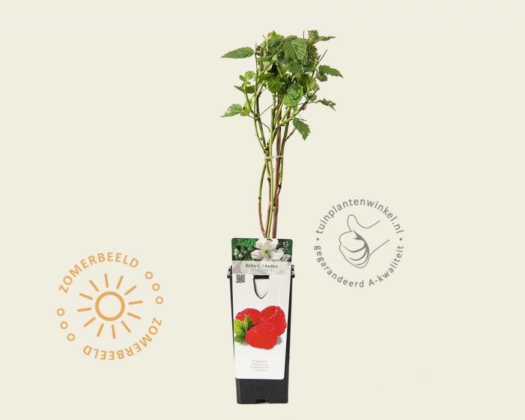 Rubus idaeus 'Glen Ample'