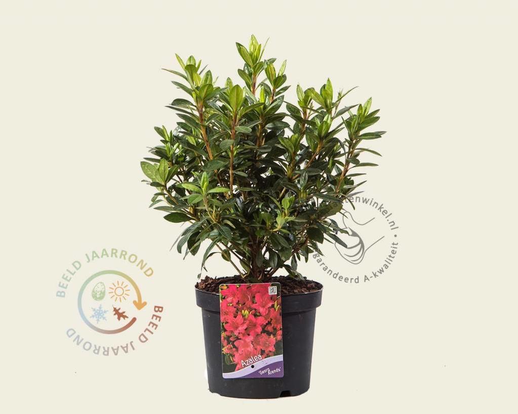 Rhododendron Azalea 'Georg Arends'