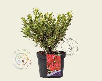 Rhododendron Azalea 'Silver Sword'