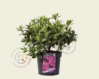 Rhododendron Azalea 'Koningsstein'