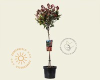 Photinia fraseri 'Little Red Robin' - 50 cm stam