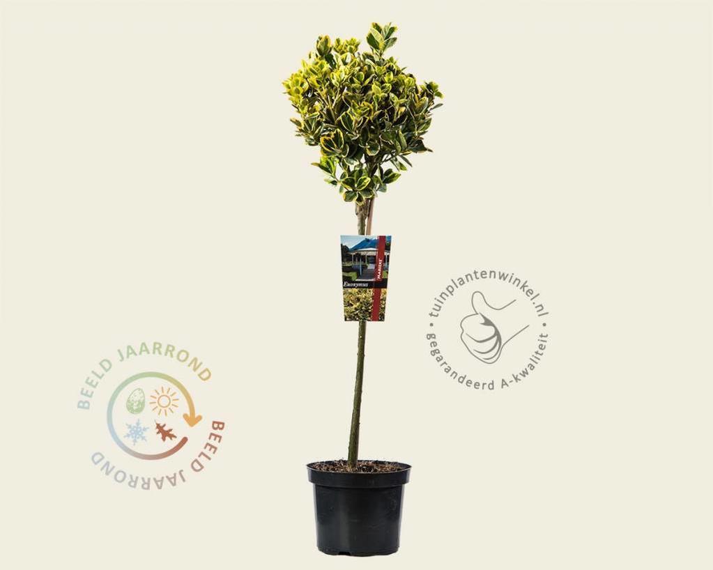Euonymus fortunei 'Marieke' - 50 cm stam