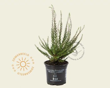 Calluna vulgaris 'Beauty Ladies Selly' - Rood