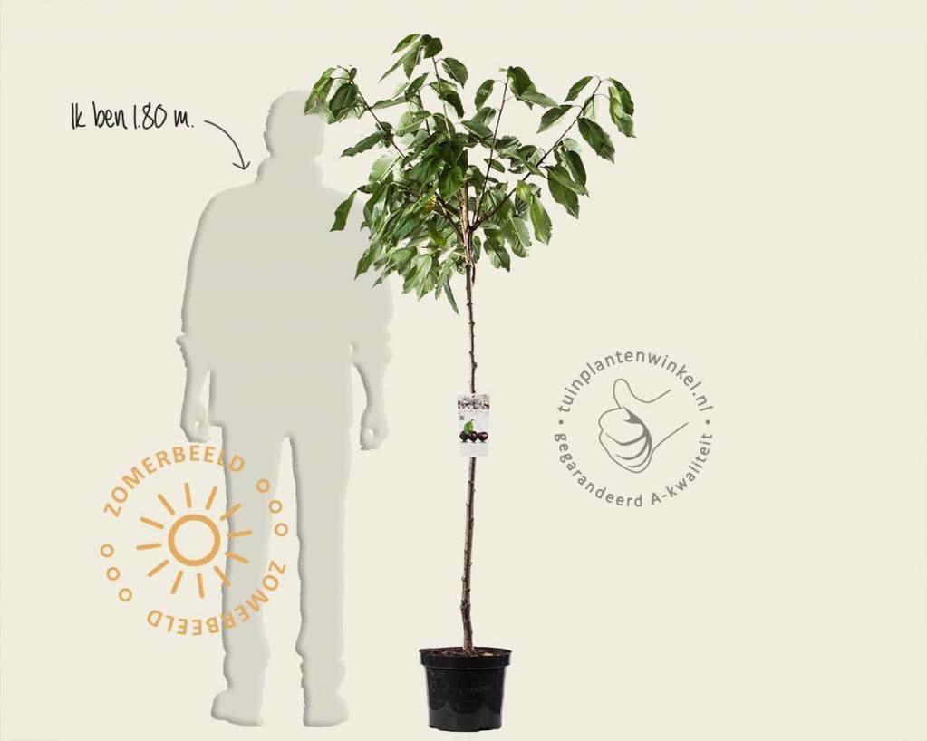 Prunus avium 'Regina' - halfstam