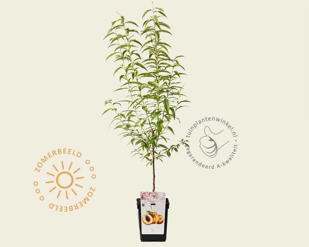 Prunus persica 'Suncrest' - patio