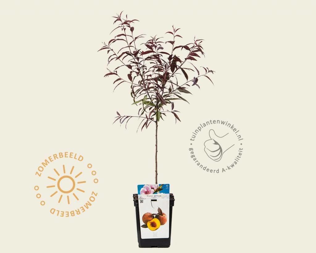 Prunus persica 'Rubira' - patio