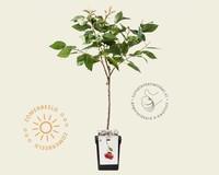 Prunus avium 'Kordia' - patio