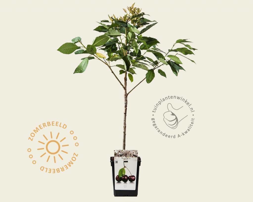 Prunus avium 'Regina' - patio