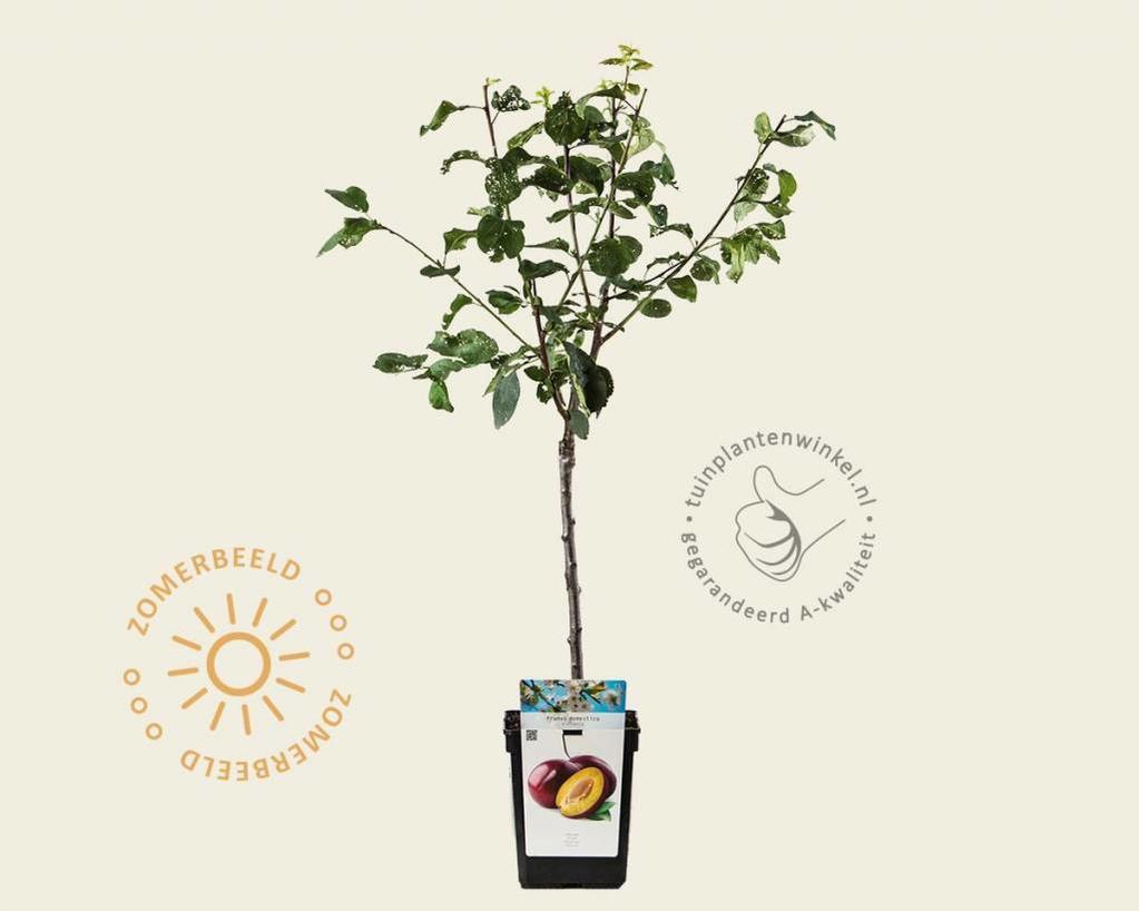 Prunus domestica 'Victoria' - patio