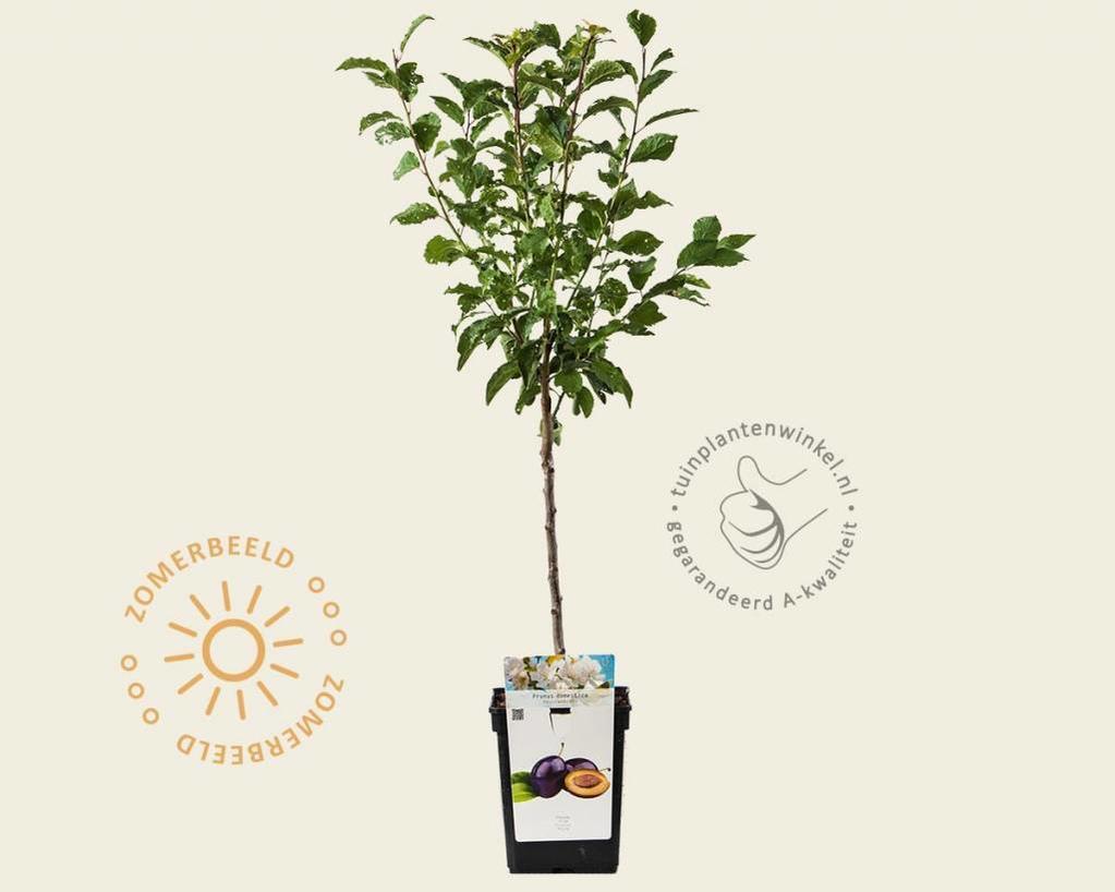 Prunus domestica 'Hauszwetsche' - patio