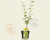 Acer palmatum 'Jordan'