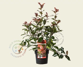 Photinia 'Magical Volcano' - 'Kolmavoca'