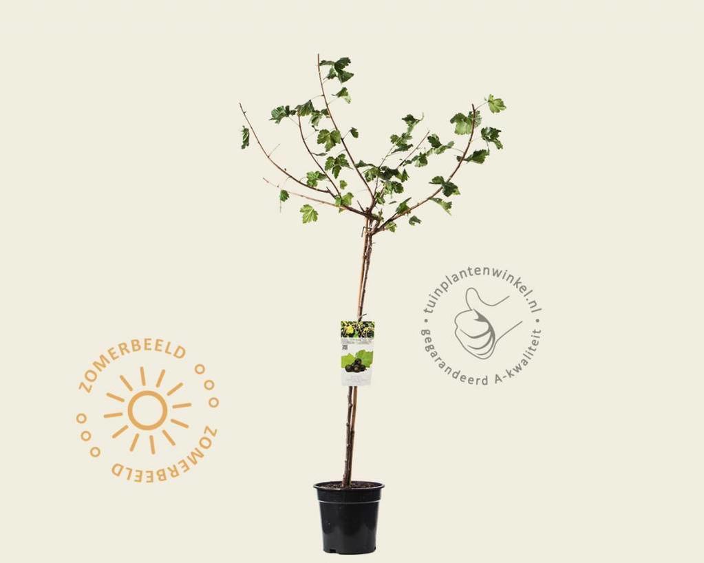 Ribes nidrigolaria 'Josta' - 70 cm stam