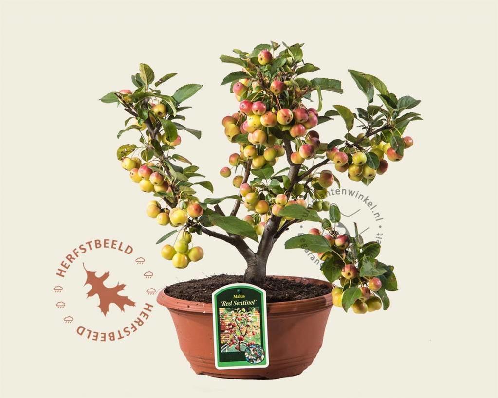 Malus 'Red Sentinel' - bonsai in schaal