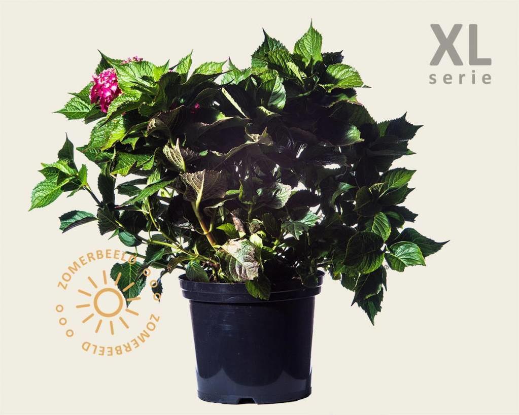 Hydrangea macrophylla 'Rood' - XL