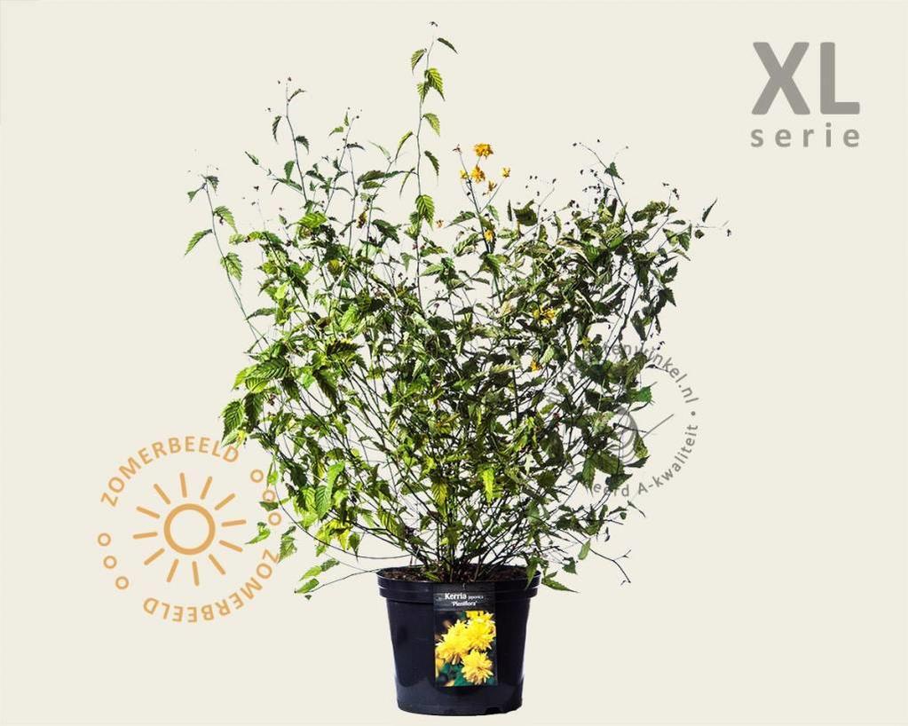 Kerria japonica 'Pleniflora' - XL