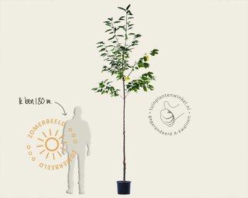 Prunus avium 'Mierlose Zwarte' - hoogstam