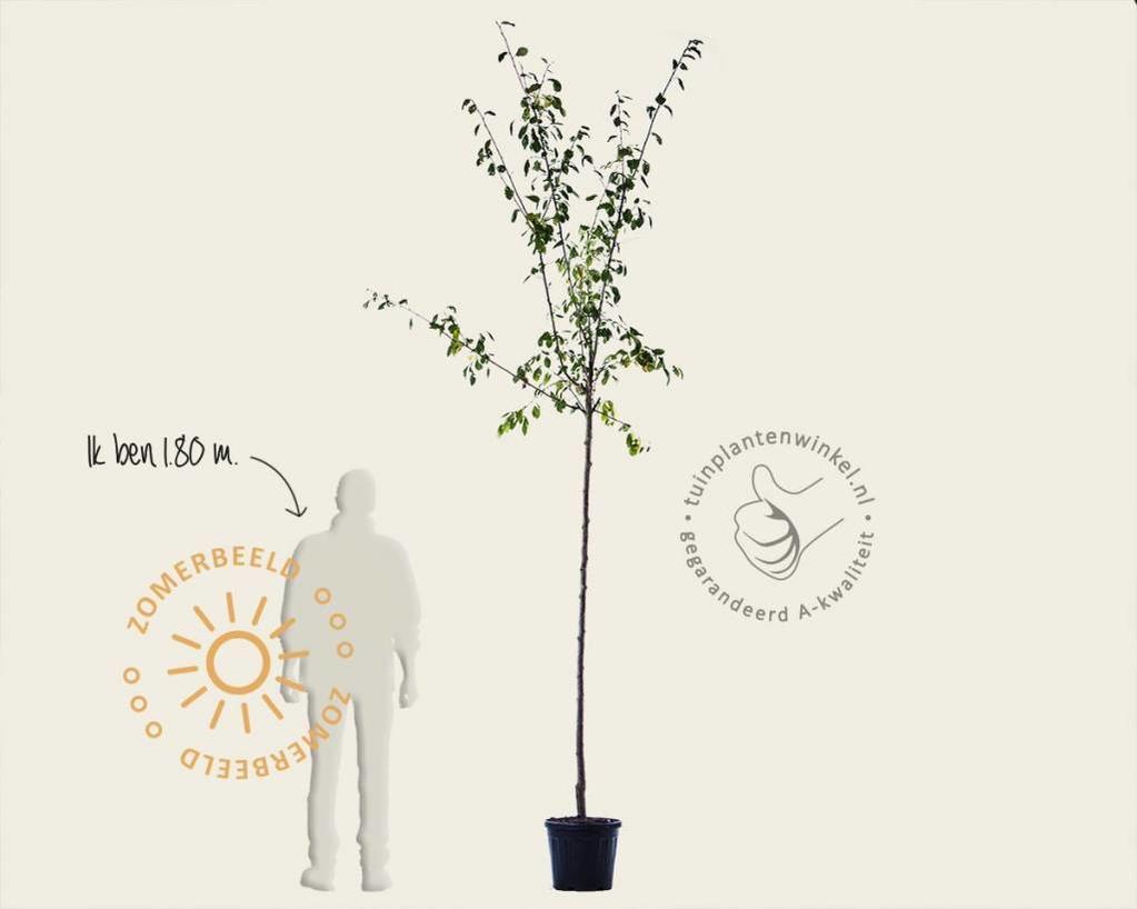 Prunus domestica 'Reine Claude D'Althan' - hoogstam