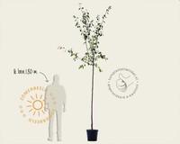 Prunus domestica 'Reine D'Oullins' - hoogstam