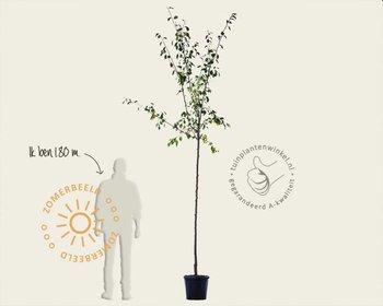 Prunus domestica 'Reine Claude D'Oullins' - hoogstam