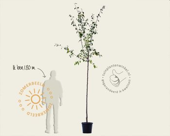 Prunus domestica 'Victoria' - hoogstam