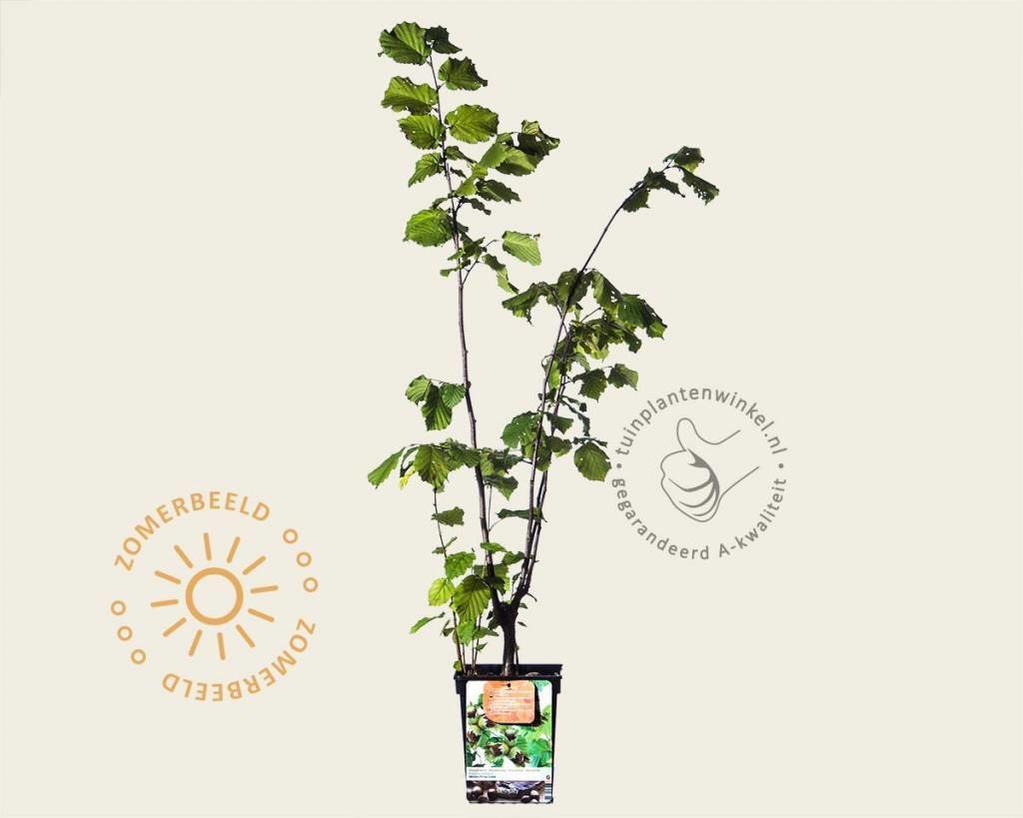 Corylus avellana 'Webb's Prize Cob'