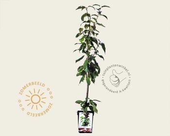 Prunus avium 'Regina' - zuilvorm