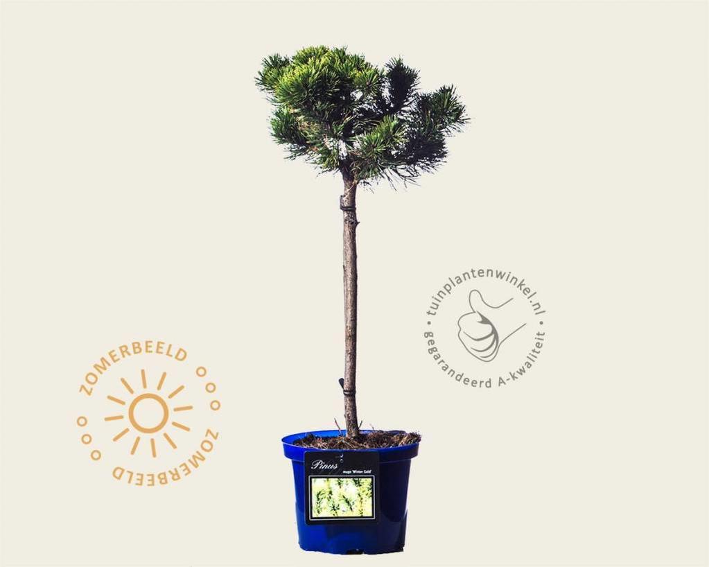 Pinus mugo 'Wintergold' - 40 cm stam