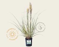 Cortaderia selloana 'Mini Silver Pampas'