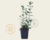 Ligustrum ovalifolium - 020/30 - in pot