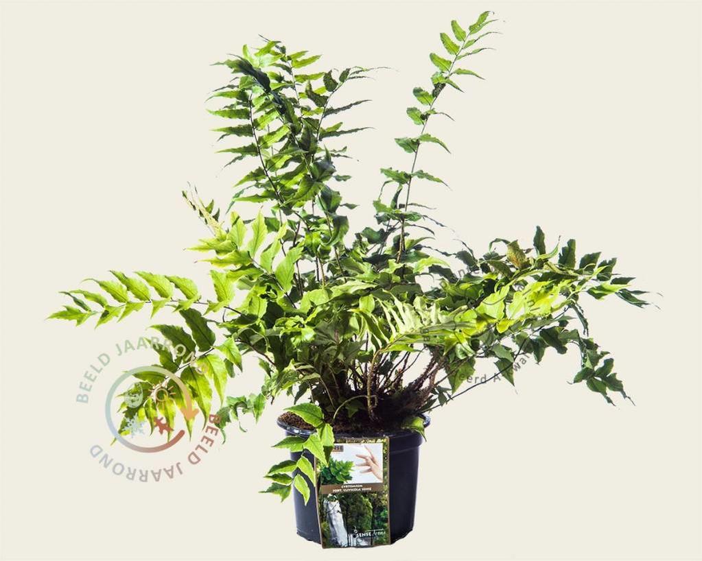 Cyrtomium fortunei 'Clivicola'