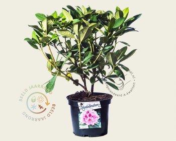 Rhododendron 'Albert Schweitzer'