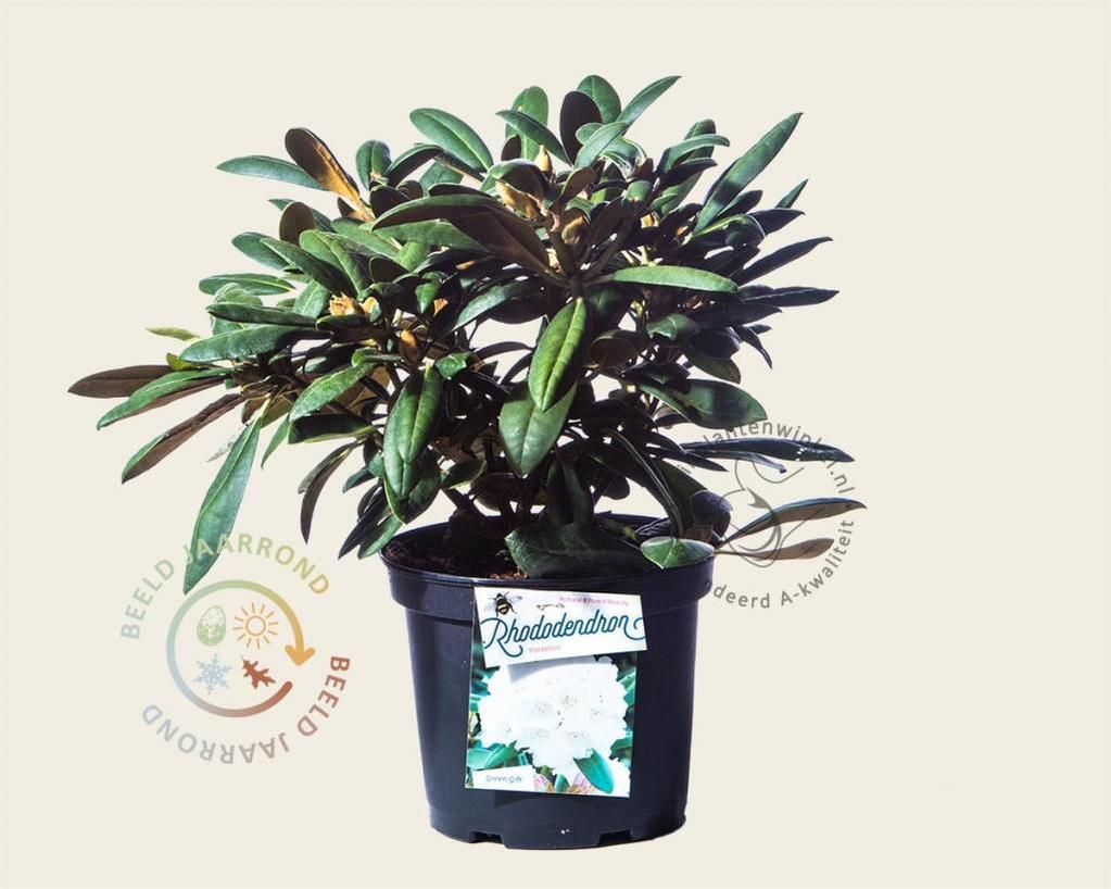 Rhododendron yakushimanum 'Porzellan'