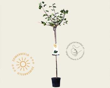 Ribes nidrigolaria 'Josta' - 90 cm stam