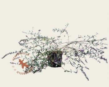 Buddleja davidii 'Free Petite Lavender Flow'