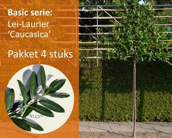 Lei-Laurier 'Caucasica' - Basic - pakket 4 stuks + EXTRA'S!
