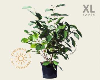 Magnolia sieboldii - XL