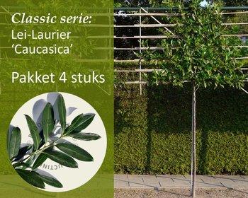 Lei-Laurier 'Caucasica' - Classic - pakket 4 stuks + EXTRA'S!