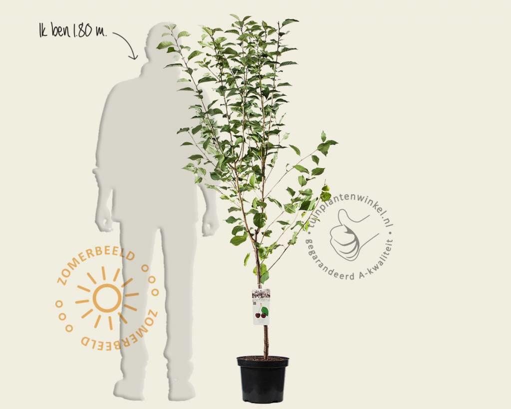 Prunus avium 'Morellenfeuer' - laagstam