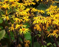 Ligularia dentata 'Othello'