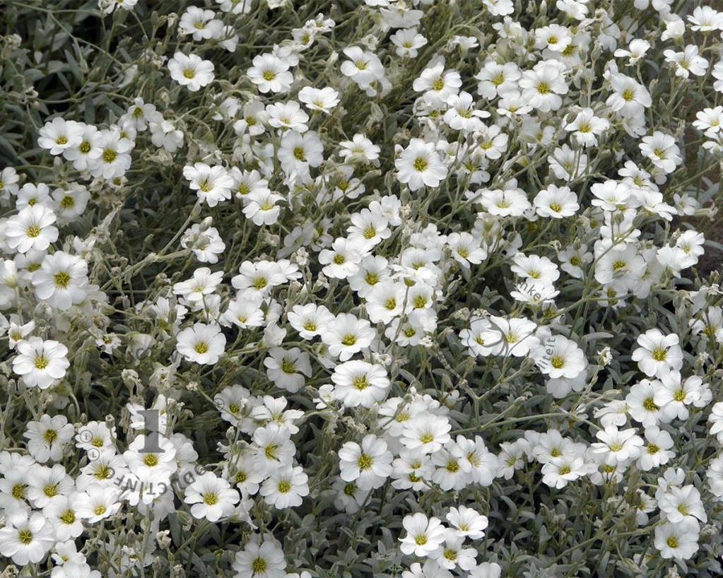 Cerastium tomentosum var columnae
