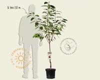 Prunus avium 'Kordia' - laagstam