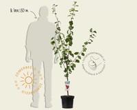 Prunus domestica 'Victoria' - laagstam