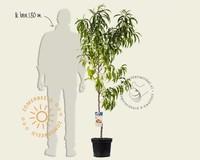 Prunus persica 'Suncrest' - laagstam