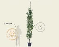 Quercus robur 'Fastigiate Koster' - beveerd