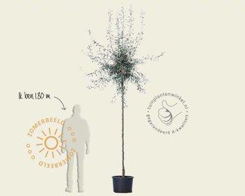 Pyrus salicifolia 'Pendula' - op stam