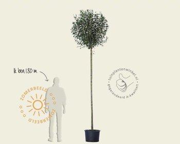 Prunus eminens 'Umbraculifera' - 200 cm stam
